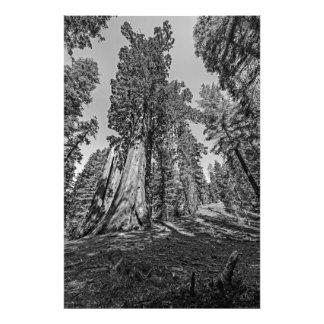 Bosque da sequóia vermelha em preto & no branco impressão de fotos