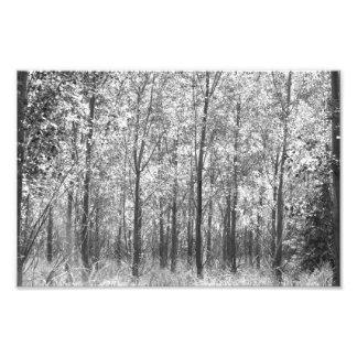 Bosque do Cottonwood Impressão De Foto