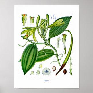 Botânico em: Plantas da baunilha Poster