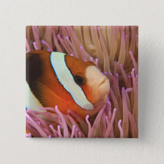 Bóton Quadrado 5.08cm anemonefish, mergulho autónomo em Tukang 2