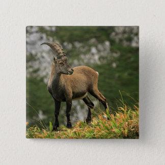Bóton Quadrado 5.08cm Íbex selvagem alpino, da cabra, ou steinbock