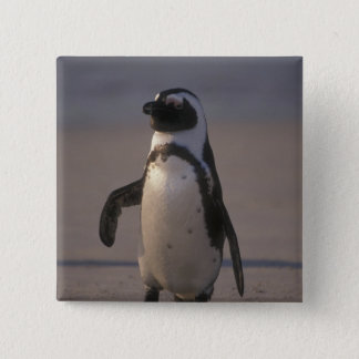 Bóton Quadrado 5.08cm Pinguim africano (demersus do Spheniscus) ou