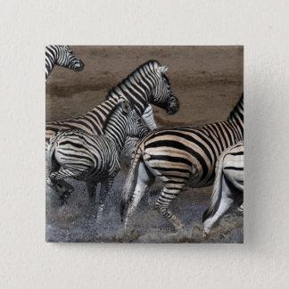 Bóton Quadrado 5.08cm Um grupo de zebra dos planos (quagga do Equus) em