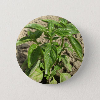 Bóton Redondo 5.08cm Única planta fresca da manjericão que cresce no