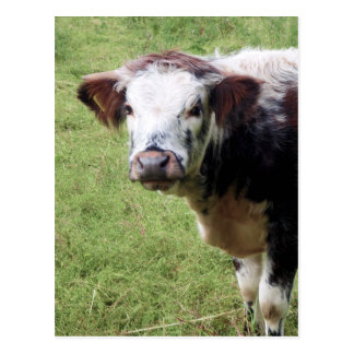 Brown bonito e cartão branco da vitela (vaca nova)