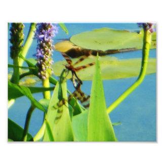 Brown listrou libélulas na foto do Pickerelweed