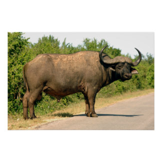 Búfalo do cabo, parque nacional do elefante de poster