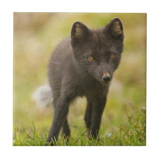 Buscas da raposa ártica para a comida