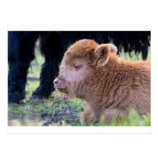 Cabeça da vitela escocesa recém-nascida do escocês cartão postal