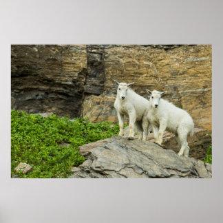 Cabra de montanha que joga no parque nacional de poster