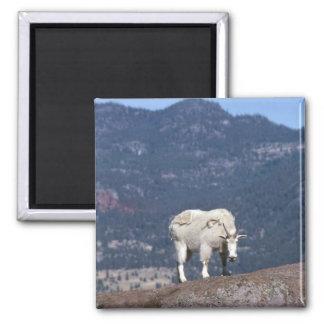 Cabra de montanha rochosa fêmea no casaco transit imãs de refrigerador