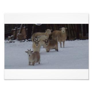 cabras e carneiros na neve impressão de foto