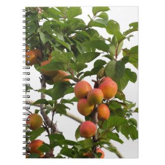 Caderno Abricós maduros que penduram na árvore. Toscânia,