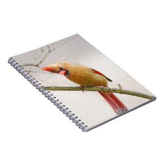 Caderno cardinal fêmea curioso