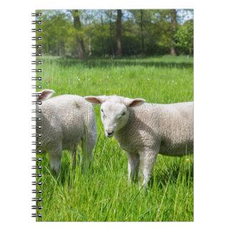Caderno Espiral Dois carneiros holandeses brancos no prado verde