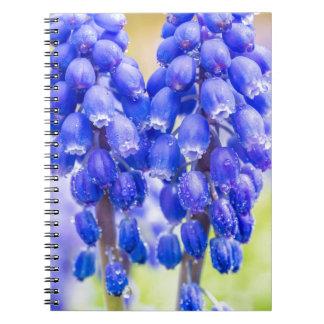 Caderno Espiral Dois jacintos de uva azuis no primavera