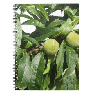 Caderno Espiral Dois pêssegos verdes unripe que penduram em uma