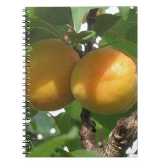 Cadernos Espiral Abricós maduros que penduram na árvore. Toscânia,