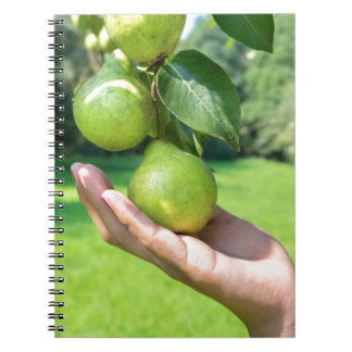 Cadernos Espiral Mão que mostra o ramo com suspensão de peras