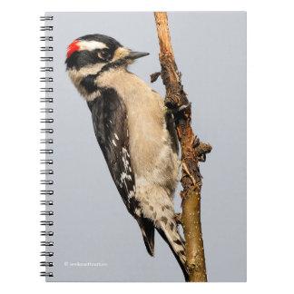 Cadernos Pica-pau Downy masculino na árvore de pera