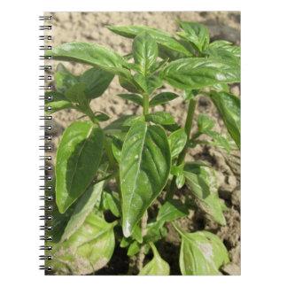 Cadernos Única planta fresca da manjericão que cresce no