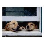 Cães que olham para fora uma janela cartao postal