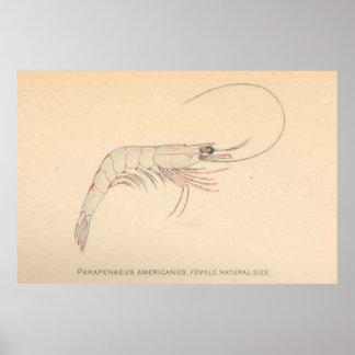 Camarão das caraíbas Diagrama do vintage (1902) Pôster