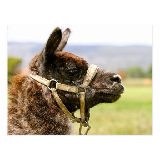 Camel Cartoes Postais