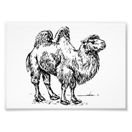 Camelo 1 impressão fotográfica