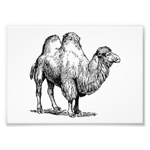 Camelo 2 fotografia