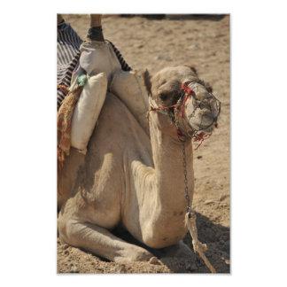 Camelo Foto Arte
