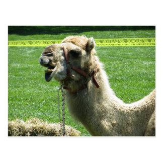 Camelo Cartões Postais
