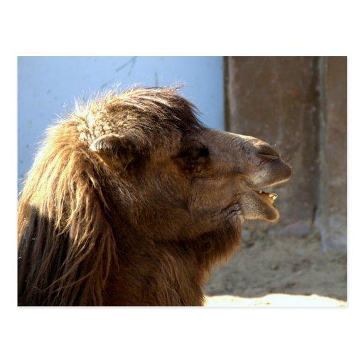 Camelo Cartão Postal