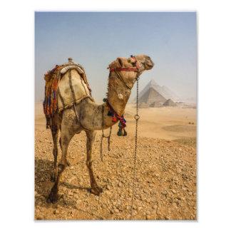 Camelo contemplativo fotografia