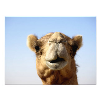 Camelo do deserto impressão de foto