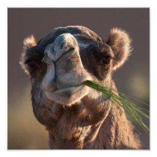 Camelo do dia de corcunda que deleita-se na grama impressão de foto