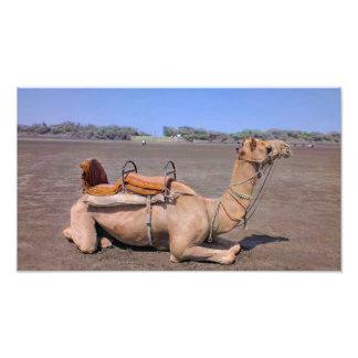 Camelo indiano em Gujarat, India Impressão De Foto