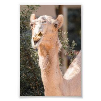 Camelo que olha fixamente ao mastigar impressão de foto