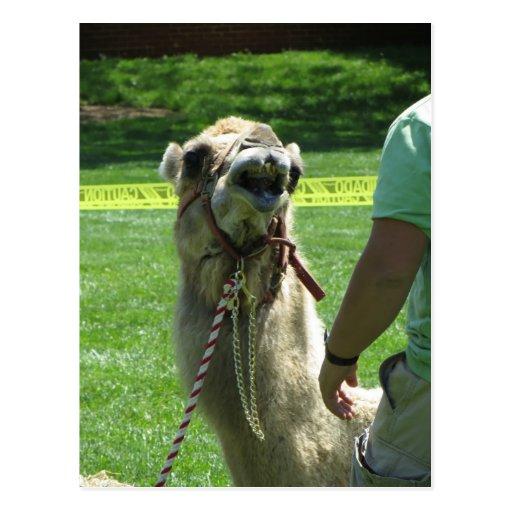 Camelo Sassy Cartão Postal