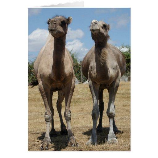 Camelos Cartões