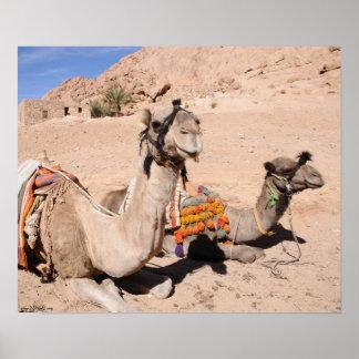Camelos no deserto em St. Catherine. Egipto Impressão