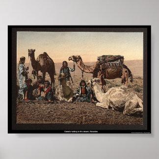 Camelos que param no deserto Palestina Posters