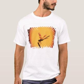 Camiseta flâmula Quatro-manchada, grávida de Brachymesia,
