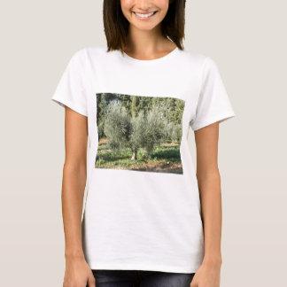 Camiseta Oliveiras em um dia ensolarado. Toscânia, Italia