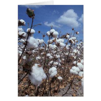 Campo do algodão cartao