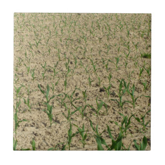 Campo do milho do milho verde na fase inicial