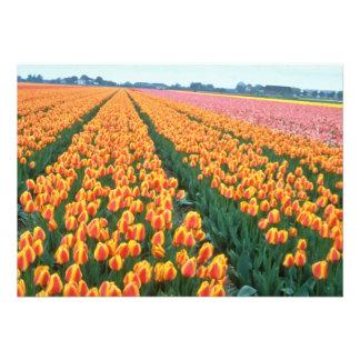 Campos alaranjados da tulipa, flores de Holland Convite