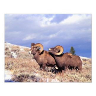 Canadensis do Ovis de duas ram do veado selvagem)  Impressão De Foto