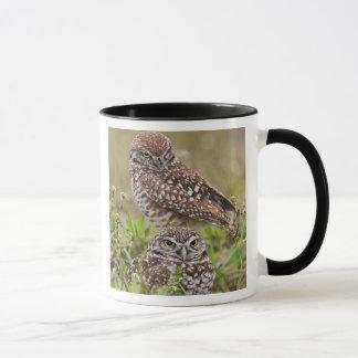 Caneca Burrowing a coruja, cunicularia do Athene, coral