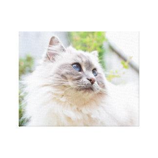 Canvas bonitos do gato de Ragdoll